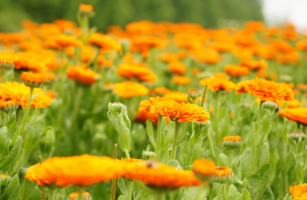 http://beautiful.red/wp-content/uploads/2016/03/calendula.jpg
